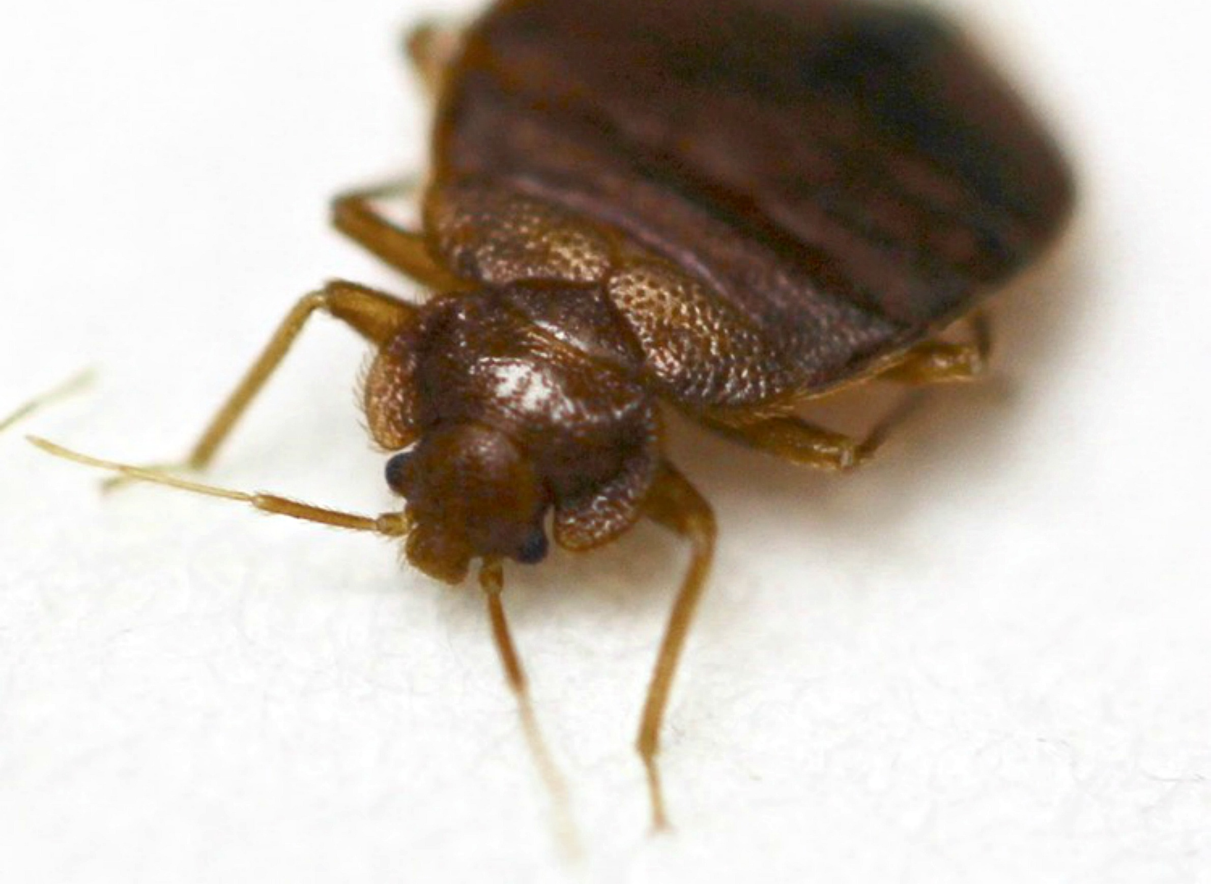 Don T Let The Bed Bugs Hitchhike Wiscontext