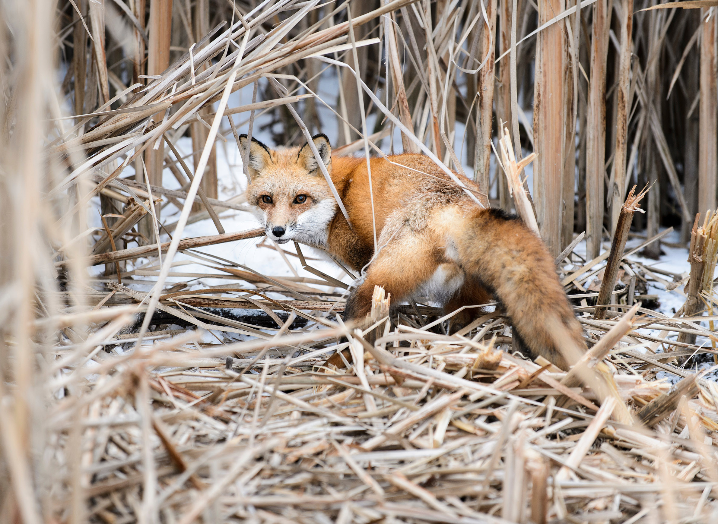 The (Not So) Secret Lives Of City-Dwelling Coyotes And ...