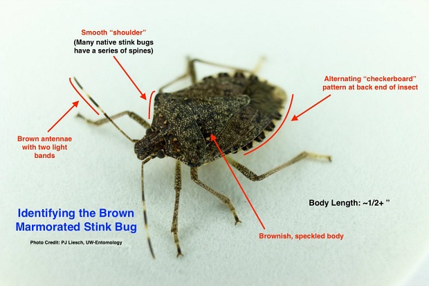 Brown Marmorated Stink Bug Has A Broad Appetite | WisContext