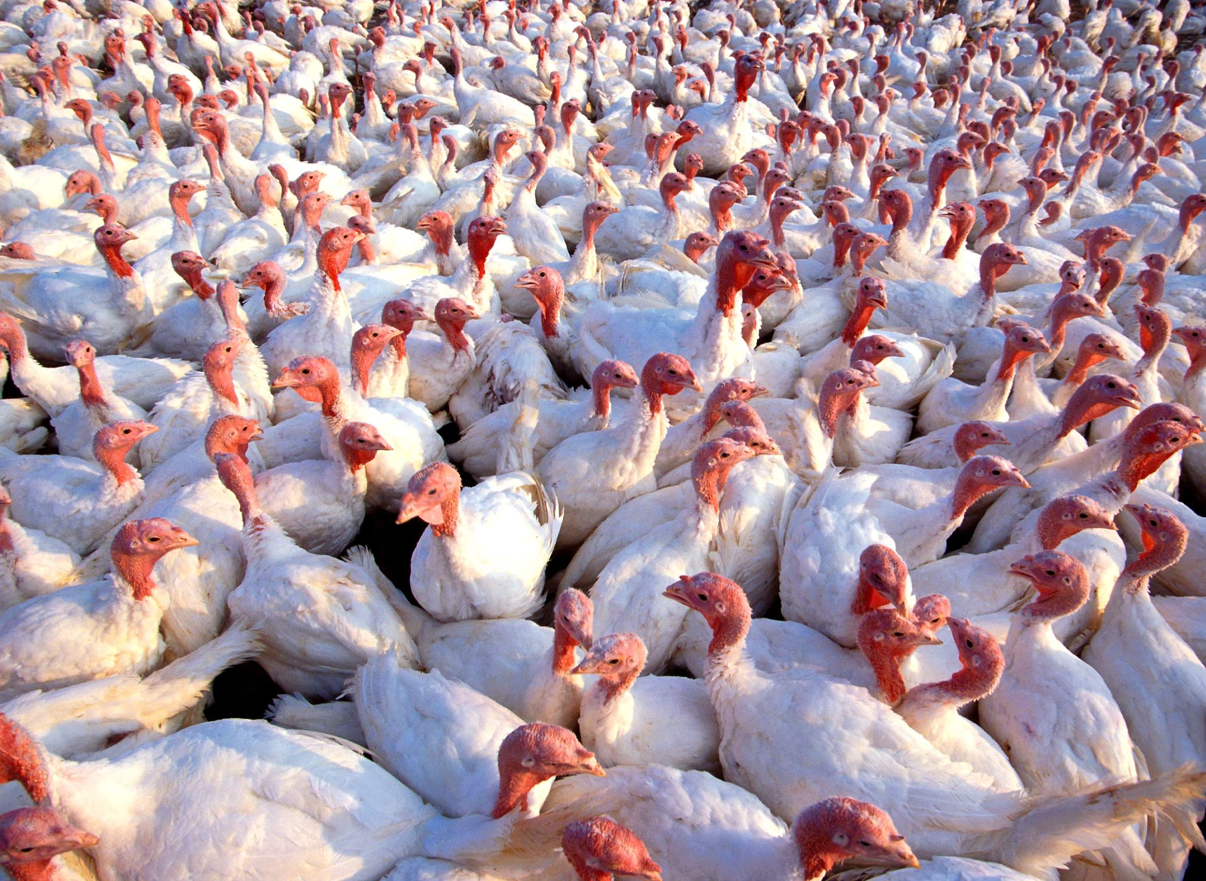 Avian Flu Confirmed at Western Kentucky Poultry Farm