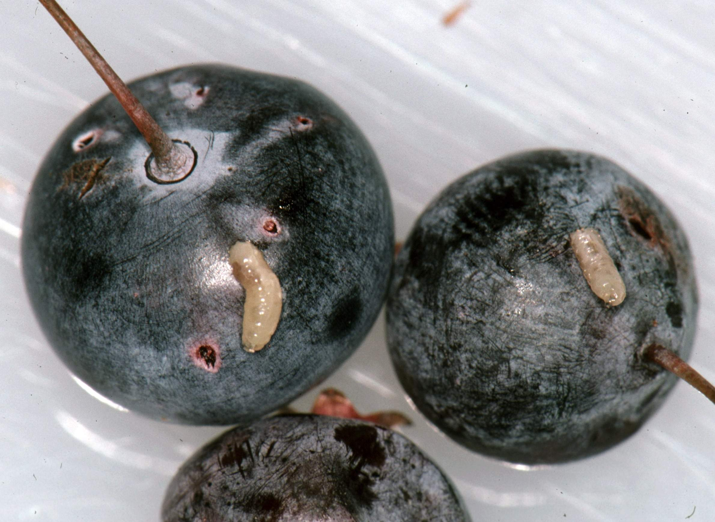 Blueberry Maggot Fly Poised To Expand In Wisconsin | WisContext