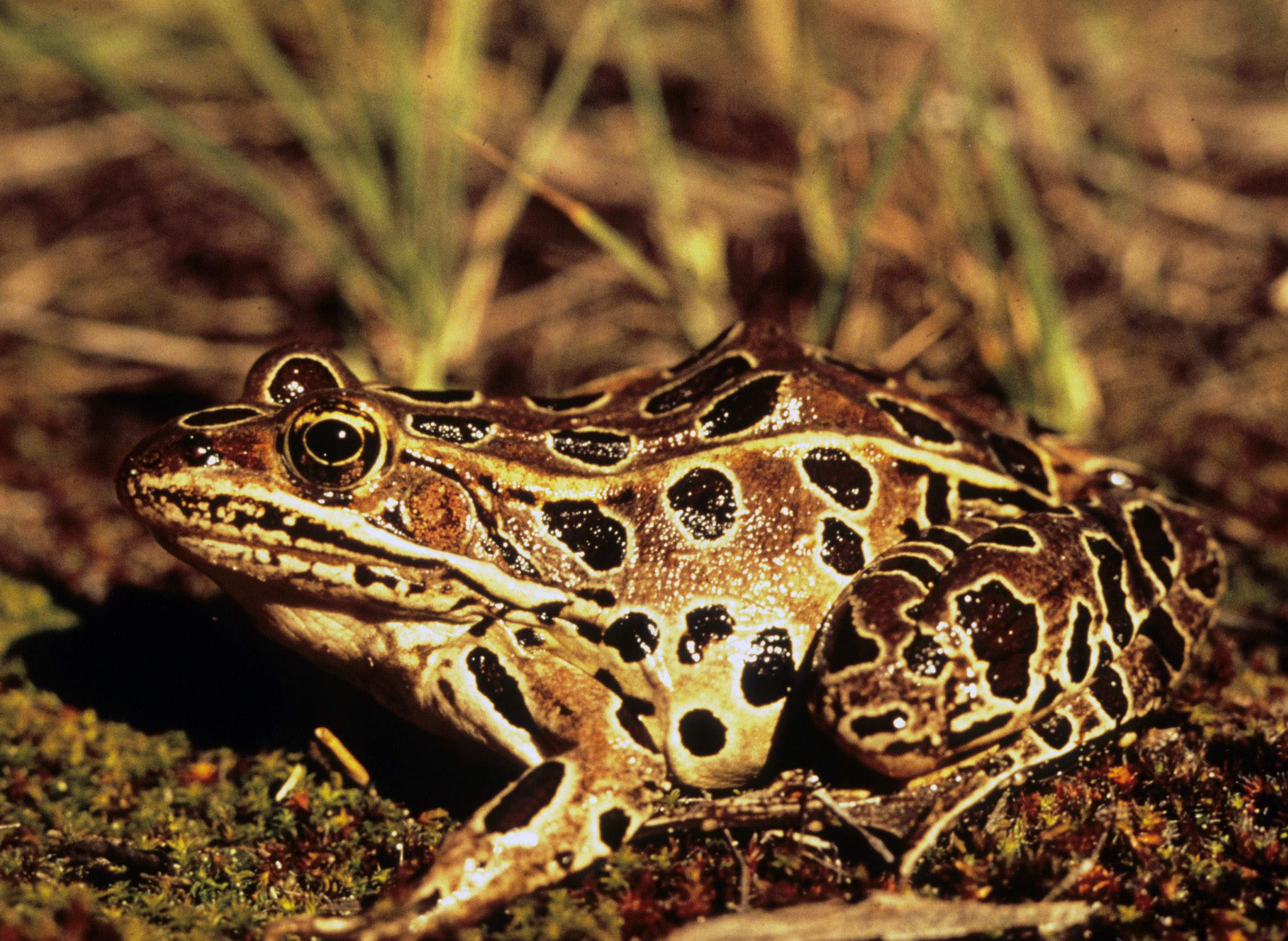 Croaks, Ribbits And Chirps: Counting Wisconsin's Frogs And Toads