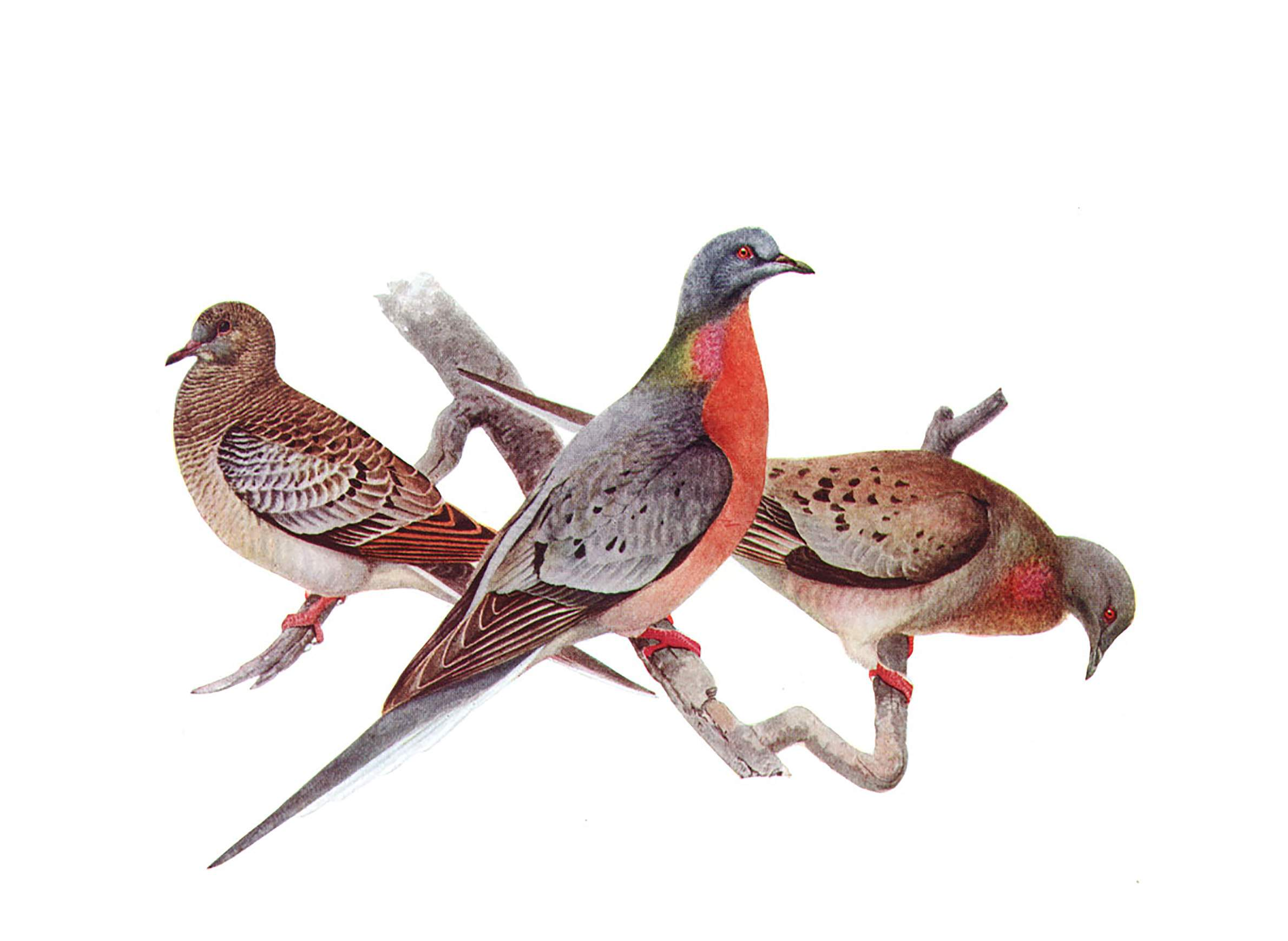 What Does The Passenger Pigeon Have To Do With Lyme Disease? | WisContext