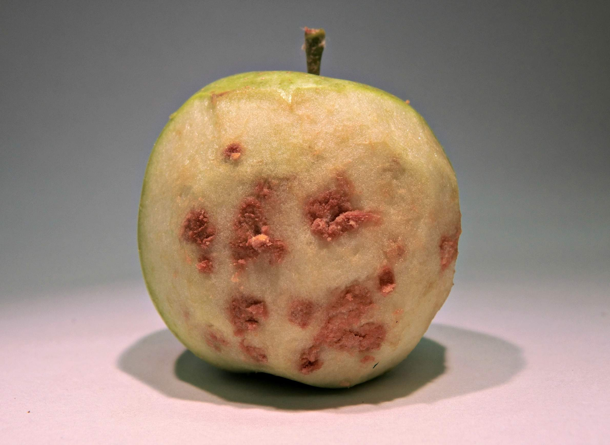 Apple showing brown marmorated stink bug damage