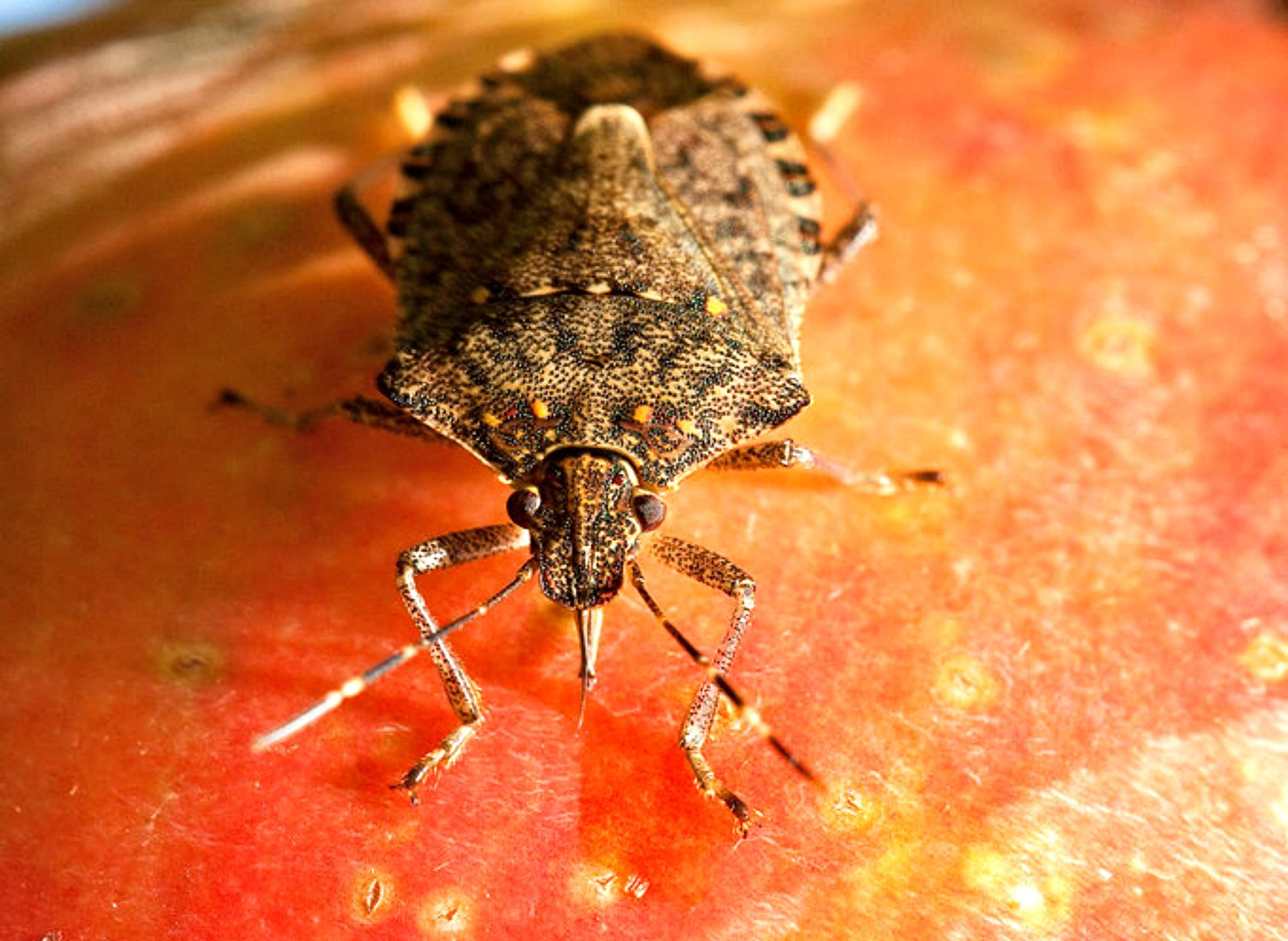 the uncertainties of preparing for the brown marmorated stink bug