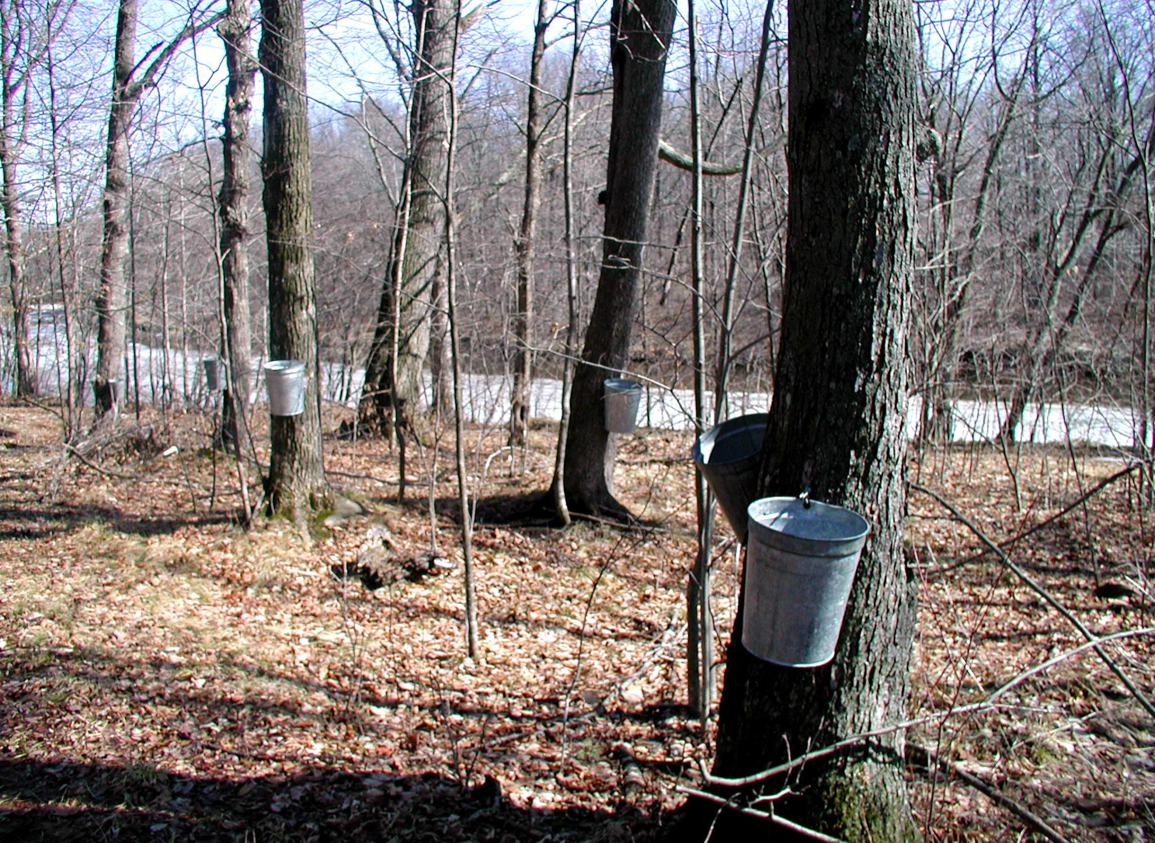 Maple syrup harvest in Wisconsin