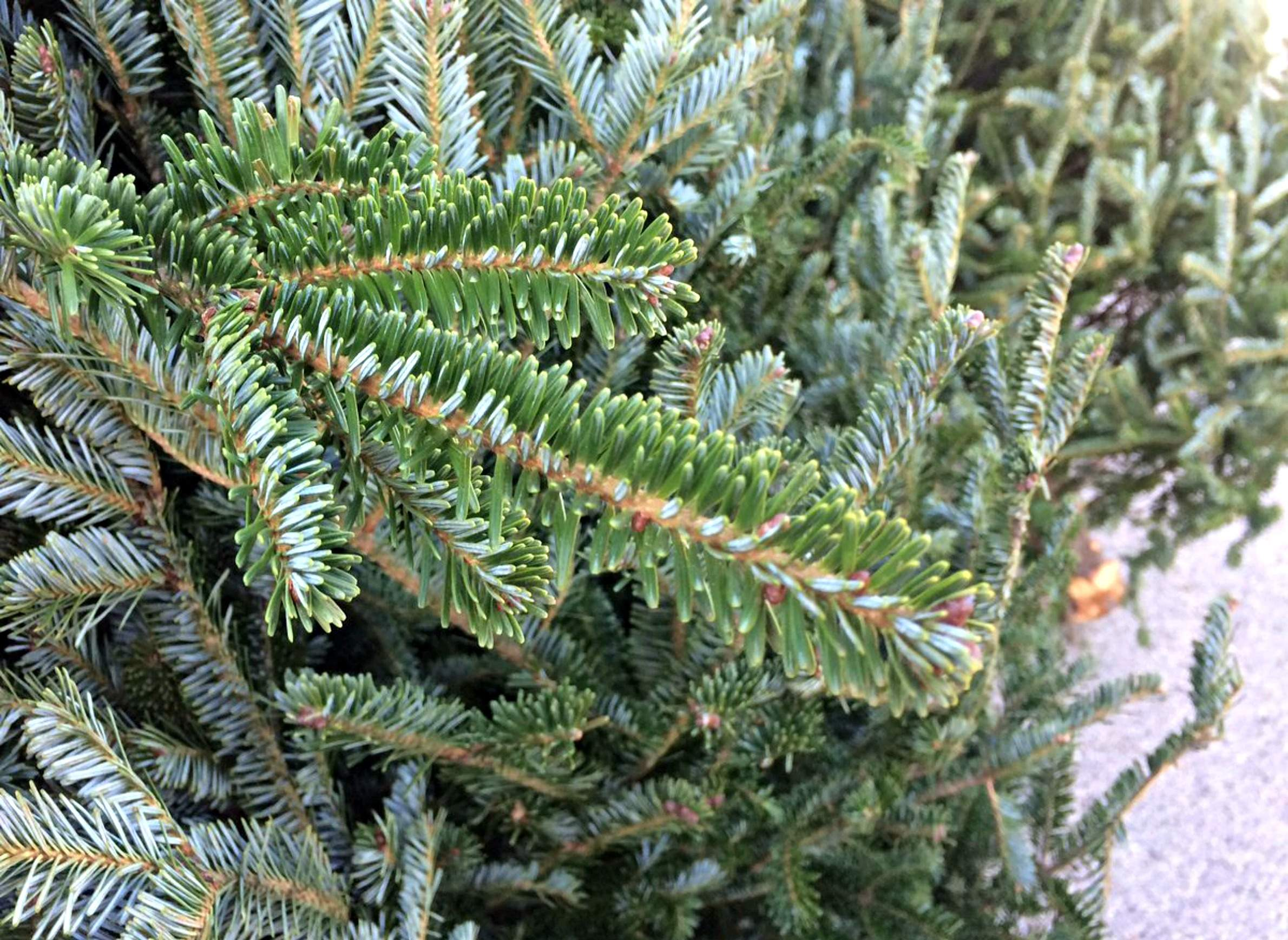 How To Pick And Place A Fresh And Fragrant Christmas Tree ...