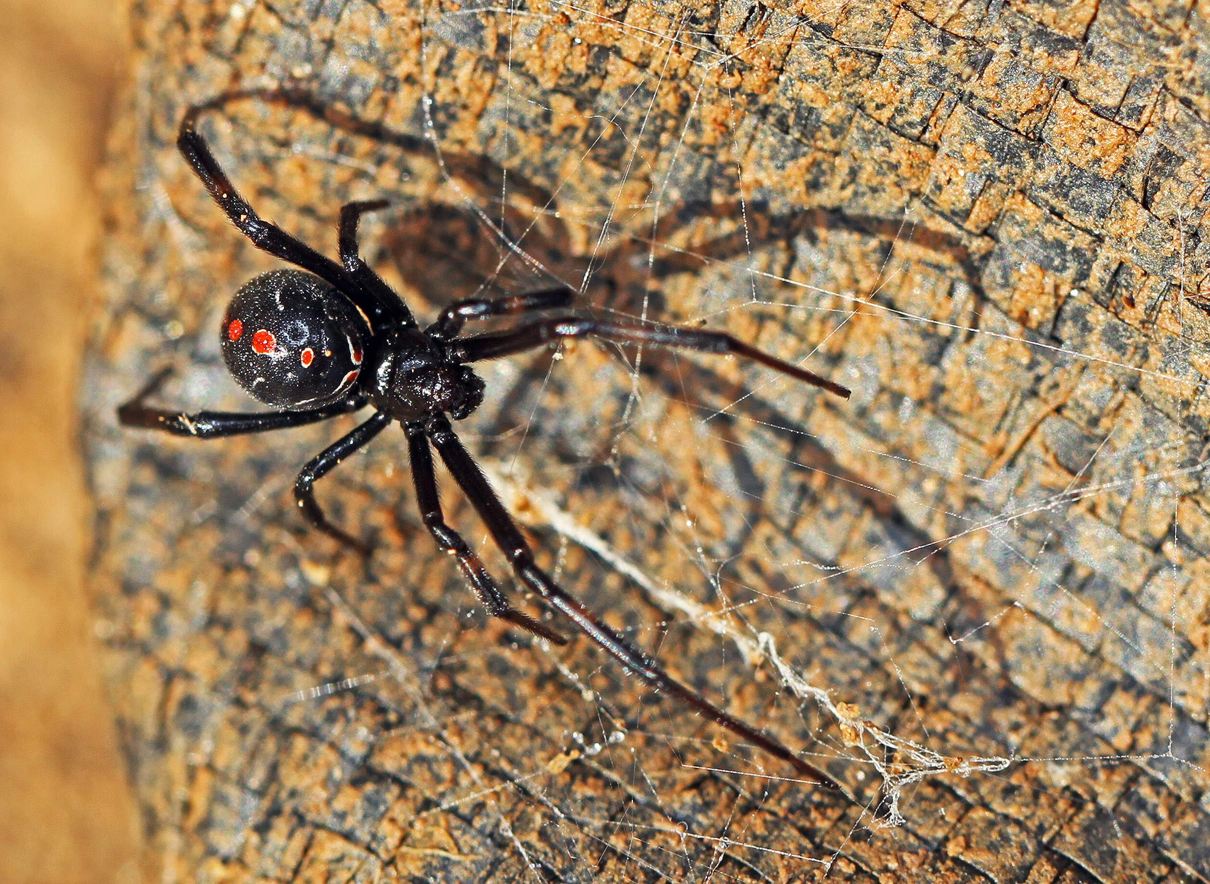 Northern Black Widow Is Rare In Wisconsin, But Sightings ... on iron man 2 map, blob map, brown widow map, captain america map, poison ivy map, widow spider map, black wolf map, minecraft spider-man map, vision map, stark expo map,