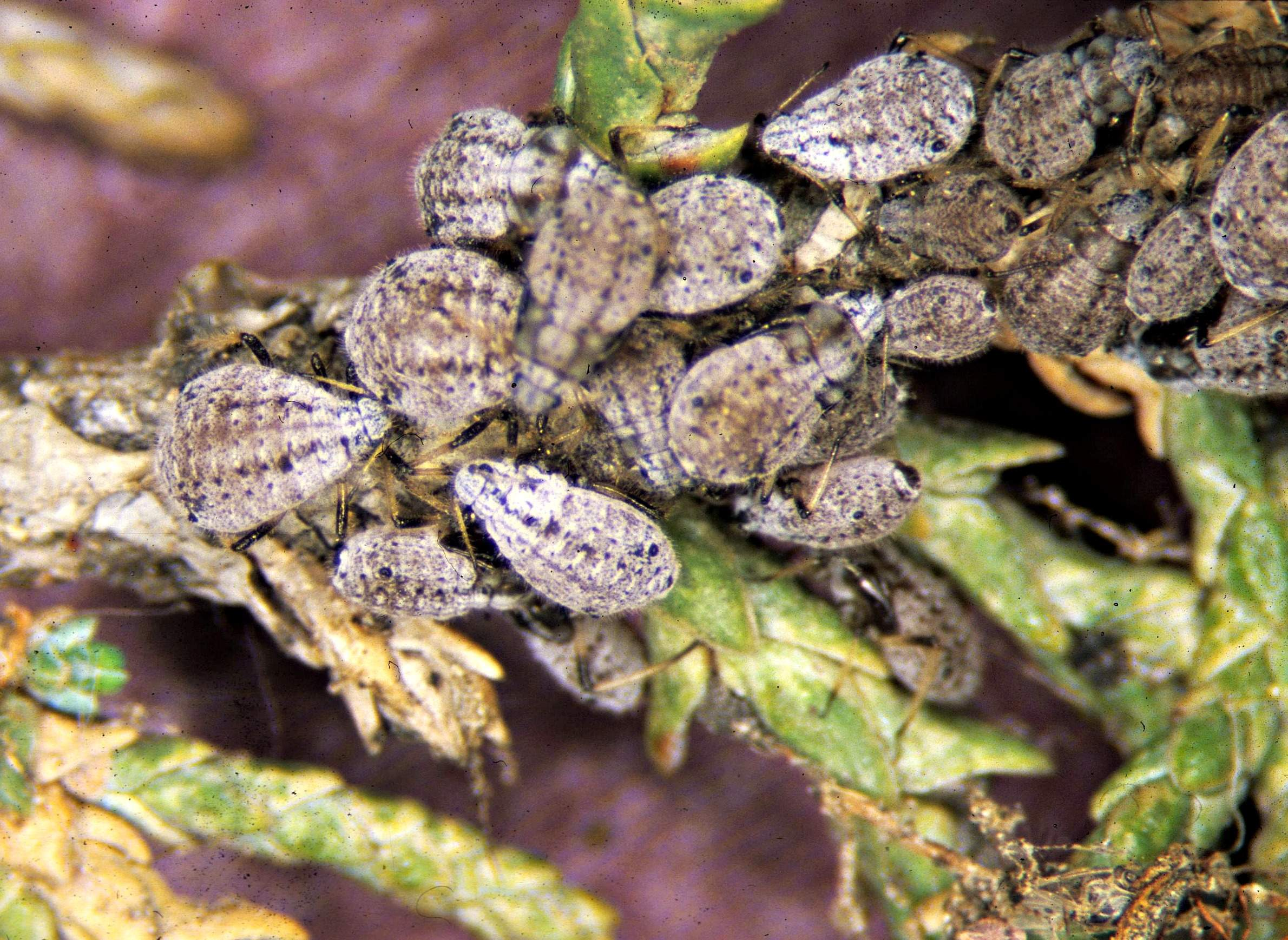 Christmas Tree Aphids.Unexpected Winter Beasts And Where To Find Them Wiscontext