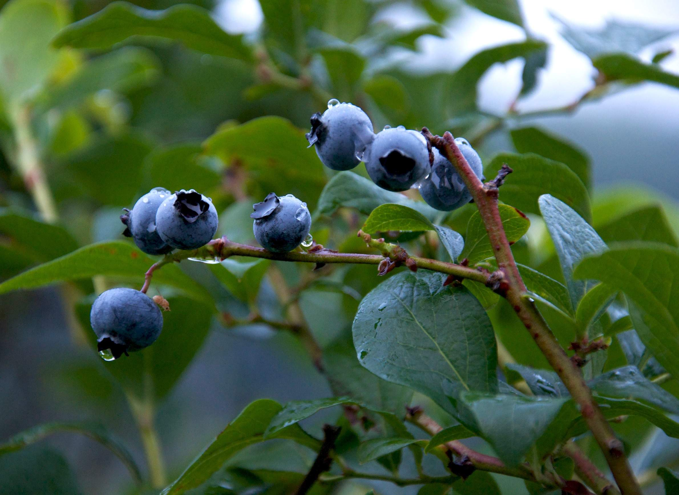 Tips For Growing Blueberries In Wisconsin Wiscontext