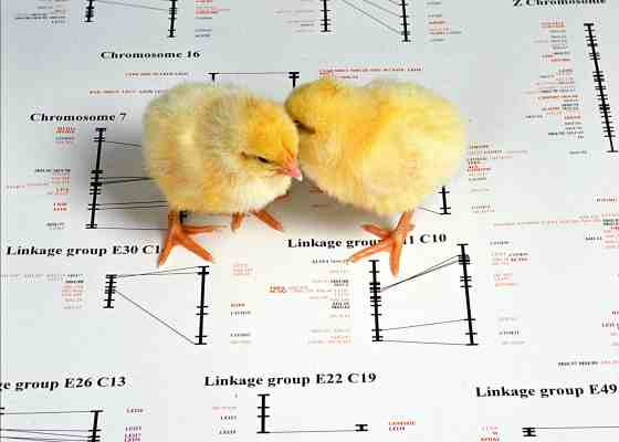 Chicks on chicken genome diagram
