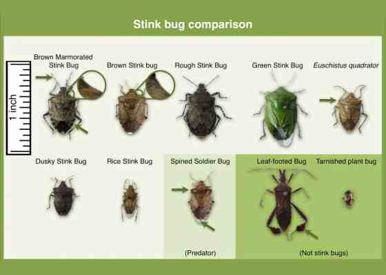 Comparison of stink bug species